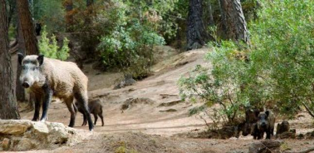 In the footsteps of Darwin: pigs DNA sheds light on